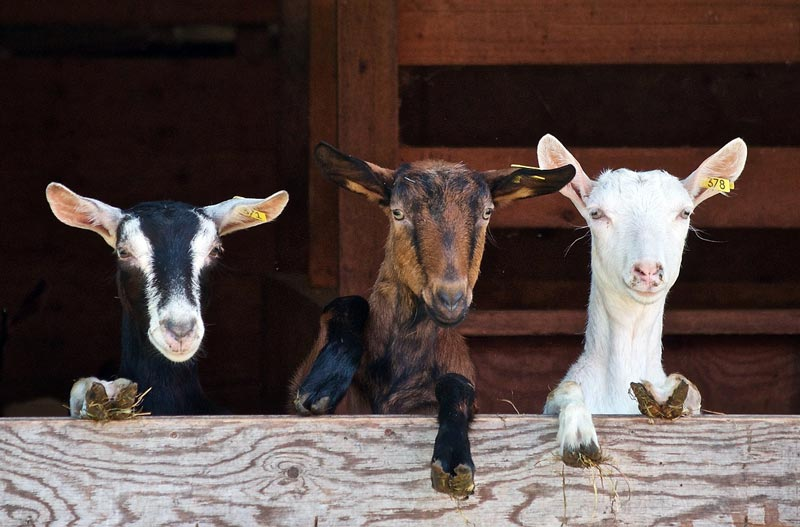 Goat Myths