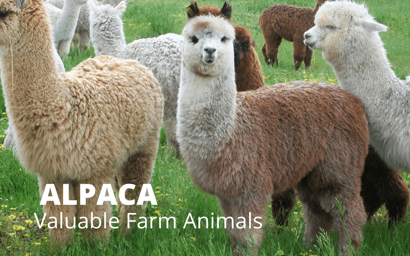 Alpacas – Valuable Farm Animal