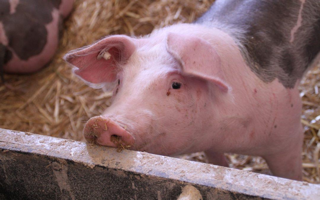 Swine Lameness