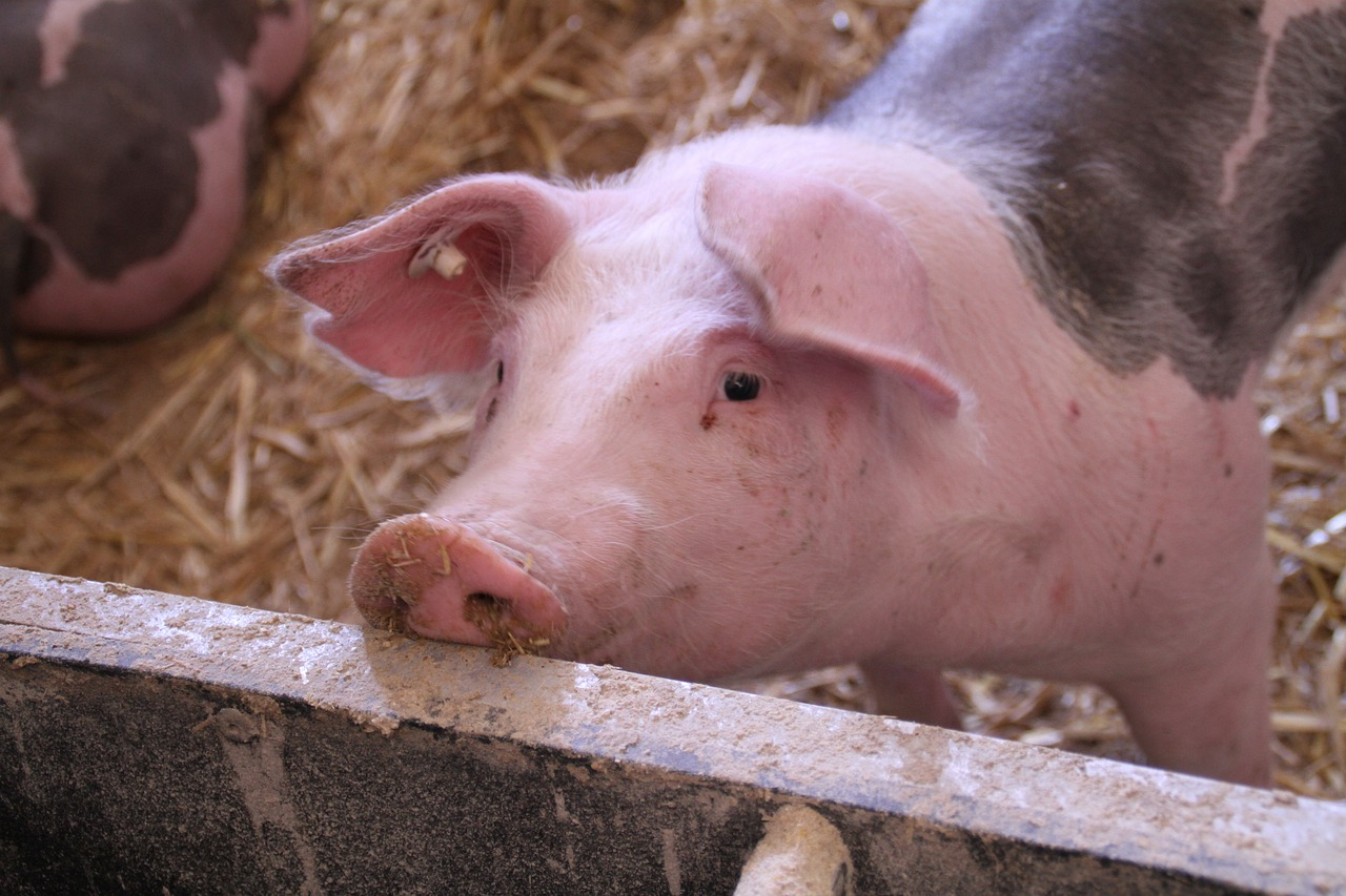 Pig Lameness Boss Tools