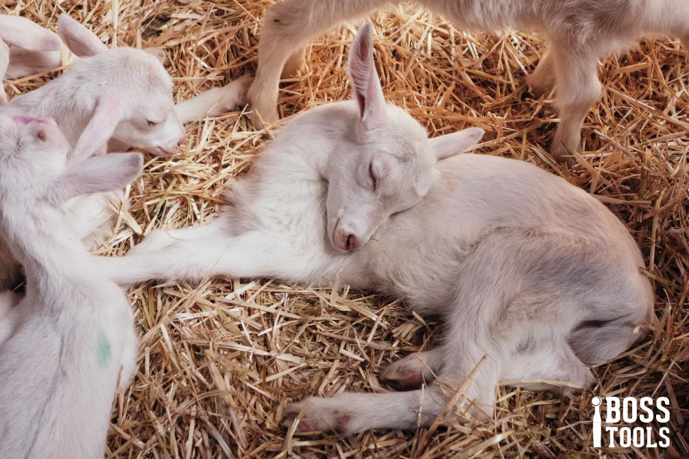 Goat Kidding Season 101