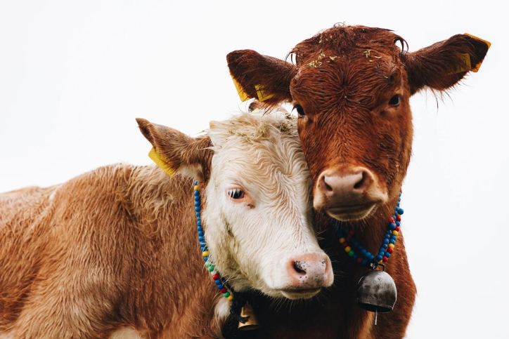 How Cows Communicate with Each Other and Humans