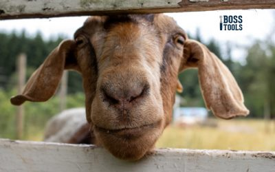 Caring for Goats Year Round — How to Keep Them Happy