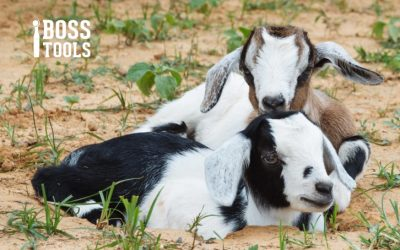 How to Get Your Goats Ready for Fall